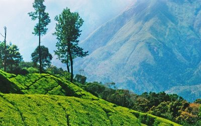 CR5KM3 Tea plantations, Nilgiri Hills, Ooty, Tamil Nadu, India, Asia